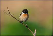 Vögelchen auf Ast... Schwarzkehlchen *Saxicola torquata*