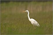 Jungvogel... Silberreiher *Casmeriodus albus*