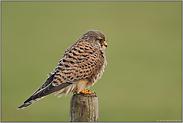 auf'm Zaunpfahl... Falke *Falco tinnunculus*