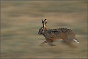 in motion... Feldhase *Lepus europaeus*