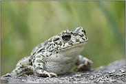 satt und zufrieden... Wechselkröte *Bufo viridis*
