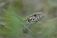 versteckt... Smaragdeidechse *Lacerta viridis*