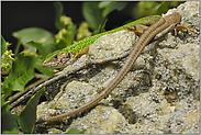 in (fast) voller Länge... Smaragdeidechse *Lacerta viridis*