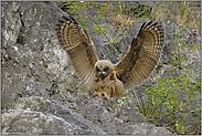 kommt ein Federknäuel geflogen... Europäischer Uhu (Ästling) *Bubo bubo*