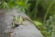 wärmeliebend... Smaragdeidechse *Lacerta viridis*