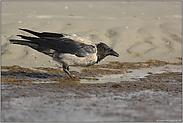 an der Tränke... Nebelkrähe *Corvus corone cornix*