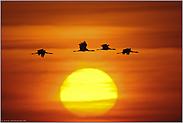 Vögel des Glücks... Kranichflug *Grus grus*