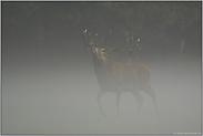 König des Waldes... Rothirsch *Cervus elaphus*