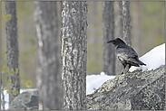 im Wald... Kolkrabe *Corvus corax*