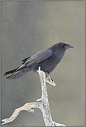 am Ansitz... Kolkrabe *Corvus corax*