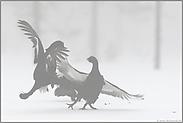 Streithähne... Birkwild *Lyrurus tetrix*