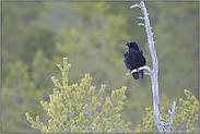 auf dem Ausguck... Kolkrabe *Corvus corax*