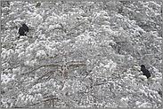 frischer Schnee... Birkhuehner *Lyrurus tetrix*