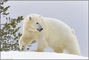 im kalten Polar... Eisbär *Ursus maritimus*