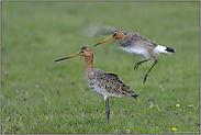 der Anflug... Uferschnepfen *Limosa limosa* (02/12)
