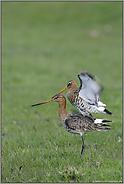 noch ein kurzer Flügelschlag... Uferschnepfen *Limosa limosa* (09/12)