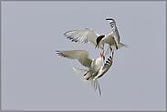 Luftakrobatik... Flußseeschwalben *Sterna hirundo*