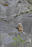 allein im Fels... Europäischer Uhu (Ästling) *Bubo bubo*