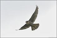 """schneller Jäger """"Vogel des Jahres 1971""""... Wanderfalke *Falco peregrinus*"""