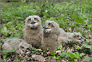 4 Hosenscheißer... Europäische Uhus (Nestlinge) *Bubo bubo*