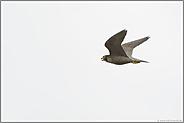 rufend... Wanderfalke *Falco peregrinus*