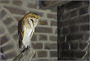 """angespannt """"Vogel des Jahres 1977""""... Schleiereule *Tyto alba*"""