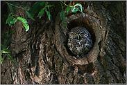 in der Naturhöhle... Steinkauz *Athene noctua*