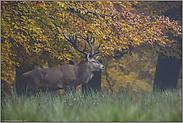 Herbstlaub... Rothirsch *Cervus elaphus*