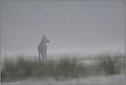 auf weitem Feld... Rotspiesser *Cervus elaphus*