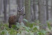 im lichten Holz... Rottier *Cervus elaphus*