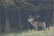 Anfang Oktober... Rothirsch *Cervus elaphus*