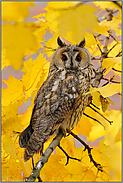 goldener Herbst... Waldohreule *Asio otus*