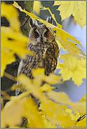 Blätterwald... Waldohreule *Asio otus*