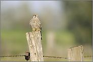 ca. 250 gr. schwer... Turmfalke *Falco tinnunculus*
