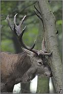 Waldschäden... Rotwild *Cervus elaphus*