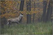 Herbst... Rothirsch *Cervus elaphus*