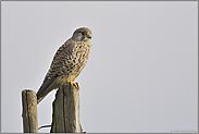 auf der Ansitzwarte... Turmfalke *Falco tinnunculus*