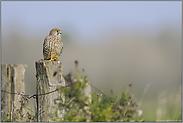 territorial veranlagt... Turmfalke *Falco tinnunculus*