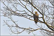 im Baum... Seeadler *Haliaeetus albicilla*