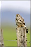 Ansitzjäger... Turmfalke *Falco tinnunculus*