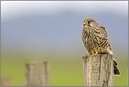 anpassungsfähig... Turmfalke *Falco tinnunculus*