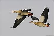 im Überflug... Nilgänse *Alopochen aegyptiacus*