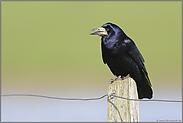 ein Singvogel... Saatkrähe *Corvus frugilegus*
