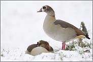 erster Schnee... Nilgänse *Alopochen aegyptiacus*