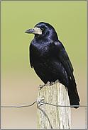 Vogel des Jahres 1986... Saatkrähe *Corvus frugilegus*