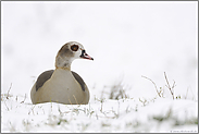 ruhend im Schnee... Nilgans *Alopochen aegyptiacus*