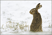 im Schnee... Feldhase *Lepus europaeus*