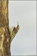 ab nach oben... Gartenbaumläufer *Certhia brachydactyla*