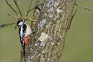 oben im Baum... Buntspecht *Dendrocopos major*