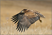 Jungspund... Seeadler *Haliaeetus albicilla*